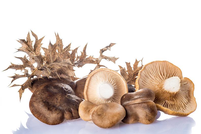 Micelio de Setas de Cardo Pleurotus eryngii