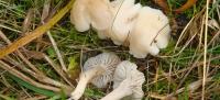 Camarophyllus Niveus o Higróforo Níveo