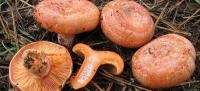 Lactarius Deliciosus, Niscalo o Robellón